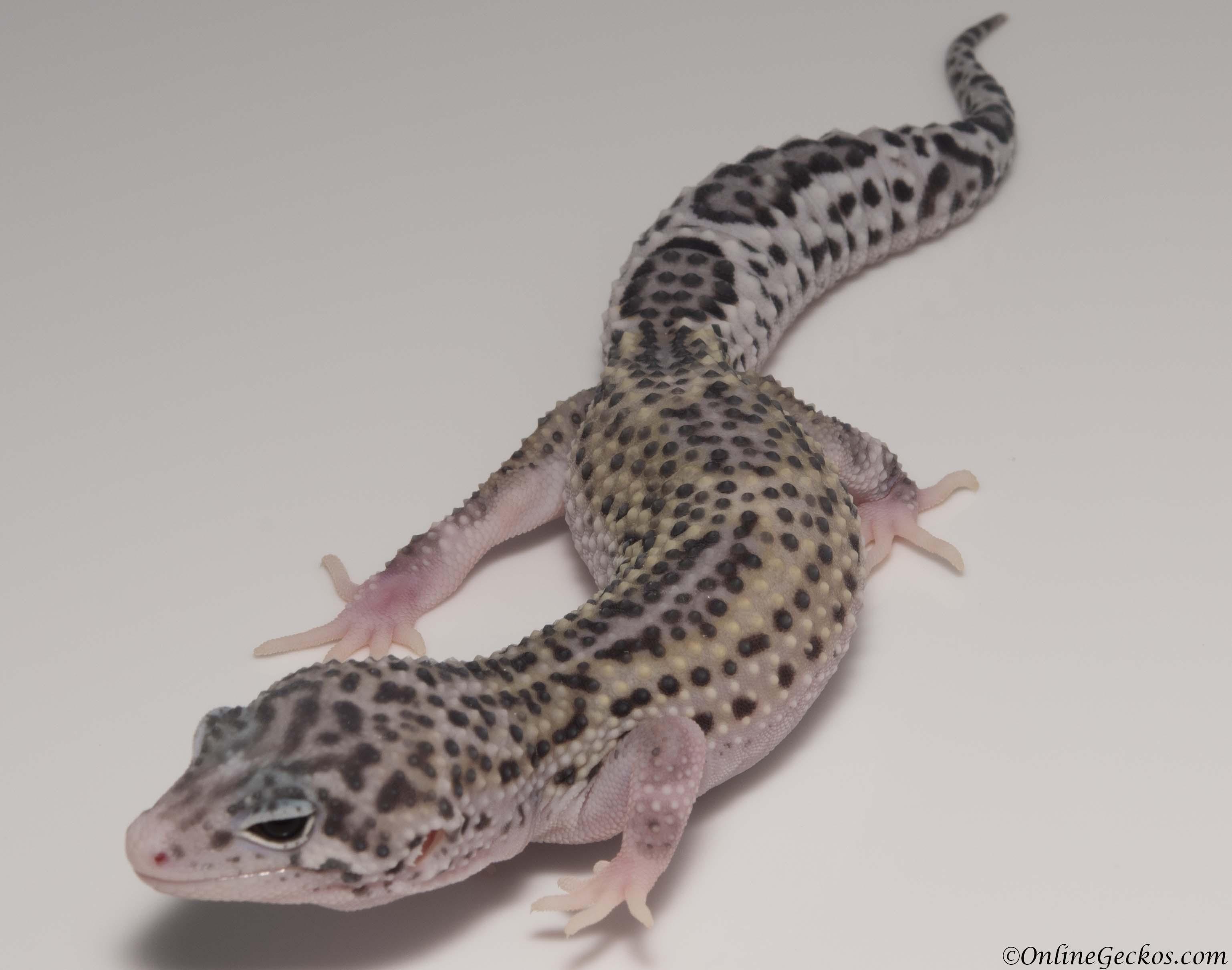 Leopard Gecko Breeding Breeder Chronicle - OnlineGeckos ...Leopard Gecko Hatchling