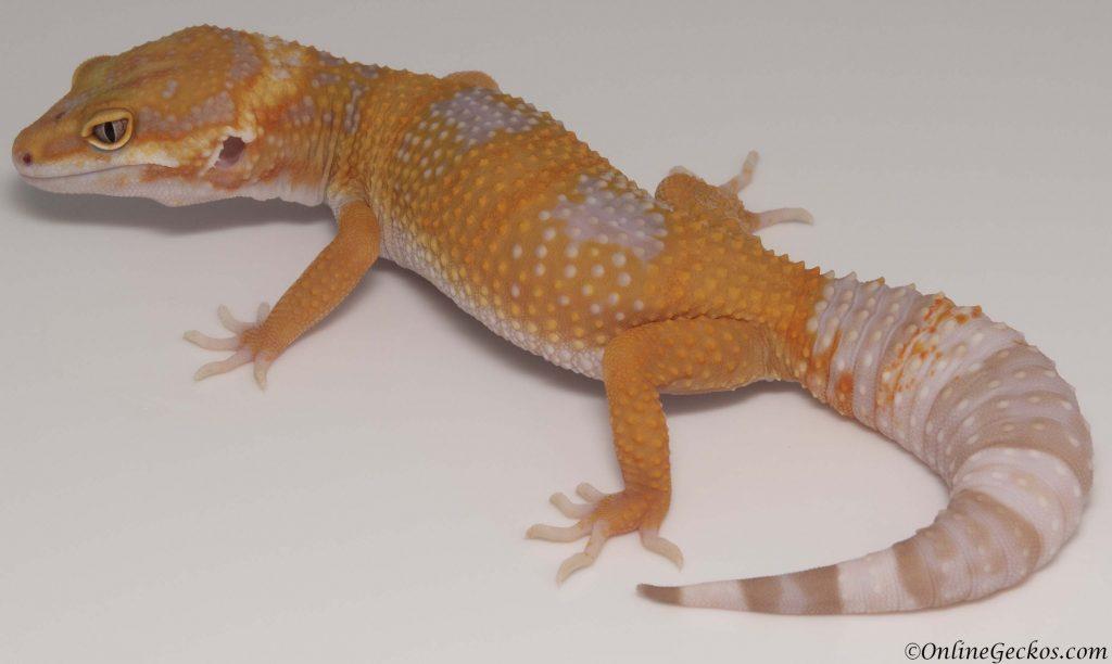 2018 leopard geckos for sale tangerine tremper albino
