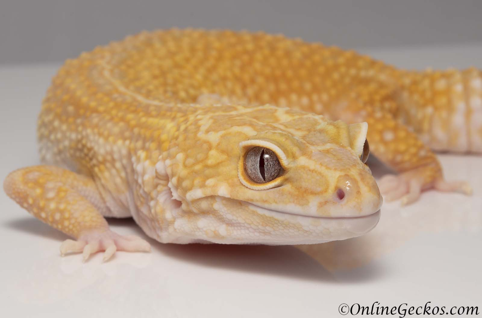 leopard gecko hatchling before after 2019 update onlinegeckos.com