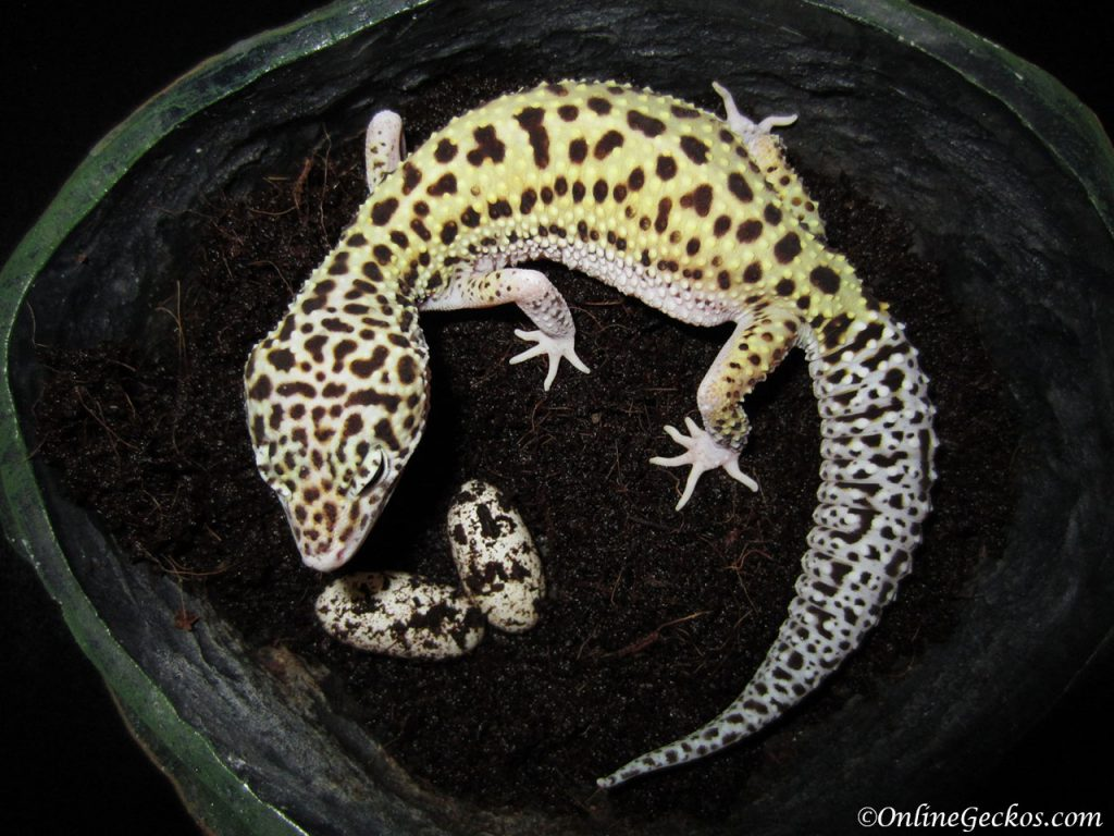 leopard gecko habitat breeder laybox moisthide