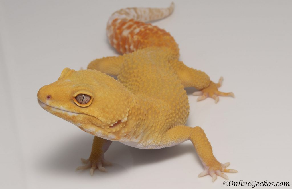 leopard gecko as pets tremper sunglow