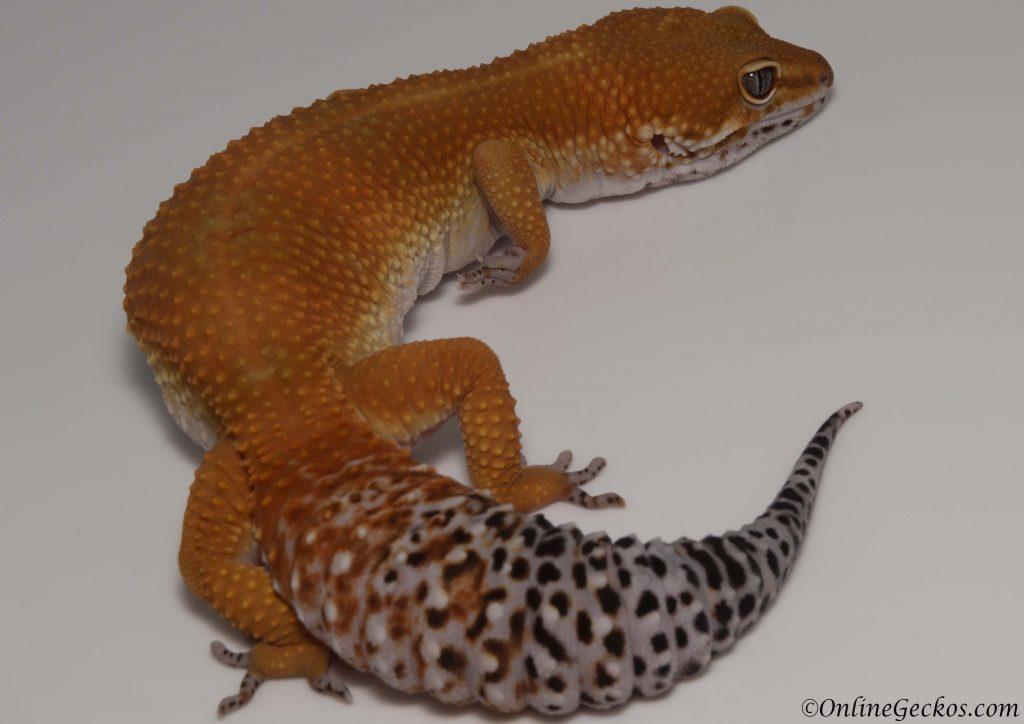 onlinegeckos leopard gecko habitat blood tangerine