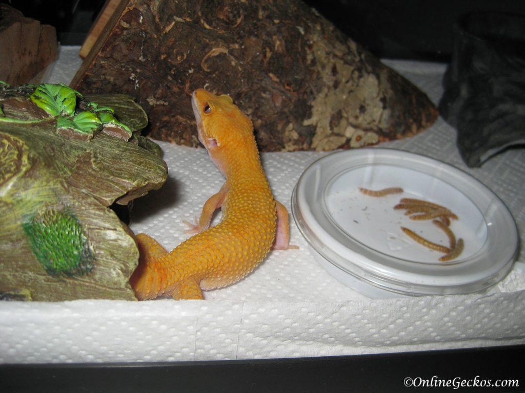 leopard gecko habitat feeding dish mealworms