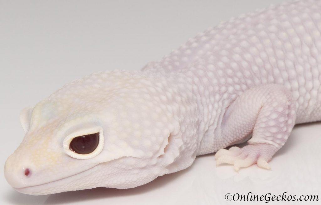 onlinegeckos leopard gecko habitat white knight
