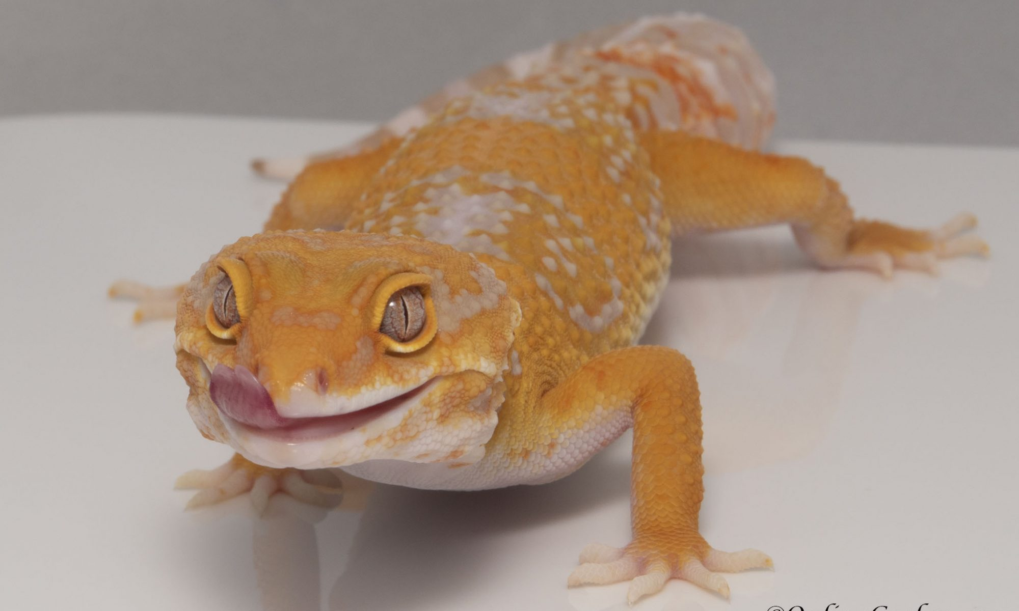 leopard gecko ovulation breeding season