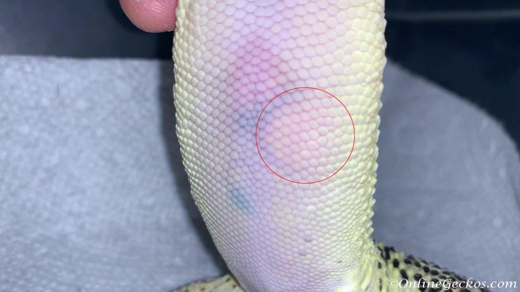leopard gecko ovulation fertilized ovum